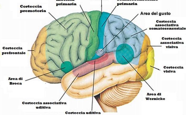 misofonia-e-le-cortecce-orbitofrontale-e-insulare